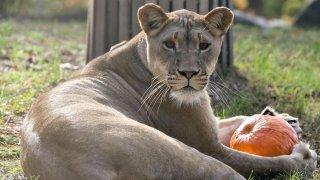 102617 lion with pumpkin