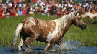 a crowd watches a Chincoteague pony go into the water in 2012