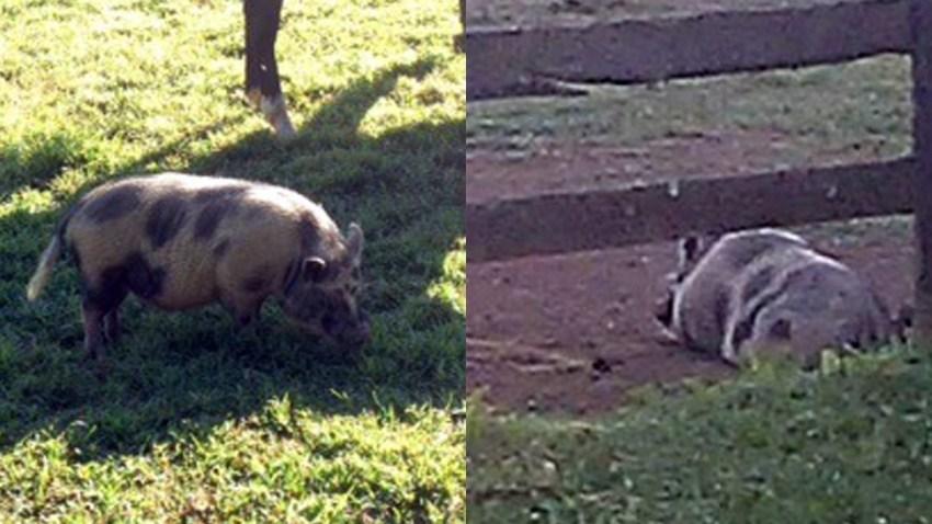 201508905 Pot Bellied Pigs