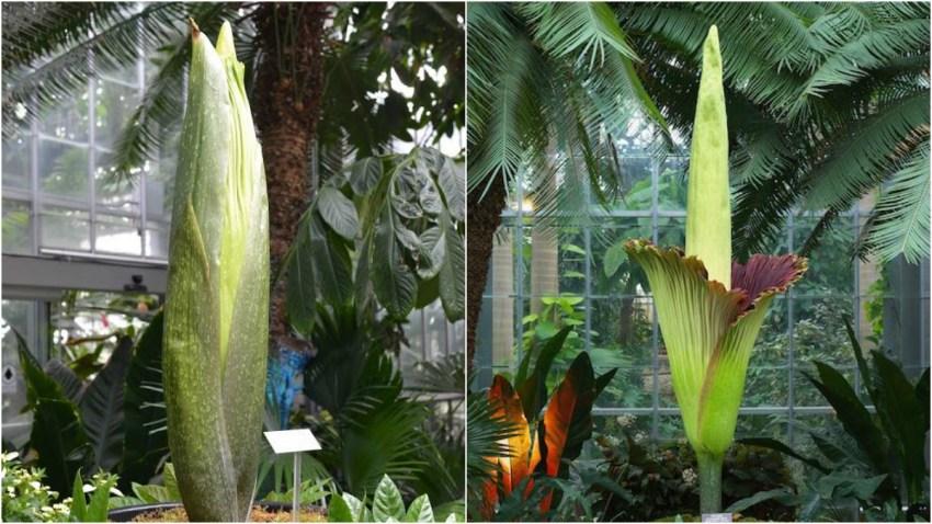 20160725 corpse flower botanic garden