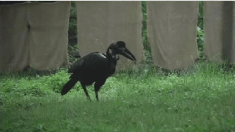 Abyssianian hornbill Karl