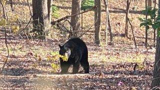 [UGCDC-CJ] [EXTERNAL] bear sighting in Tysons yesterday!