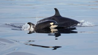 This Saturday, Jan. 7, 2017 photo shows an orca and a calf, part of a pod of four, swimming about a mile offshore near Point Vicente at Newport Beach, Calif.