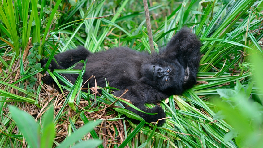 Mountain Gorilla Rebound