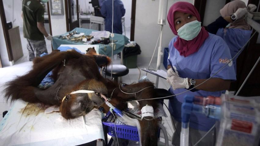 CORRECTION APTOPIX Indonesia Orangutan