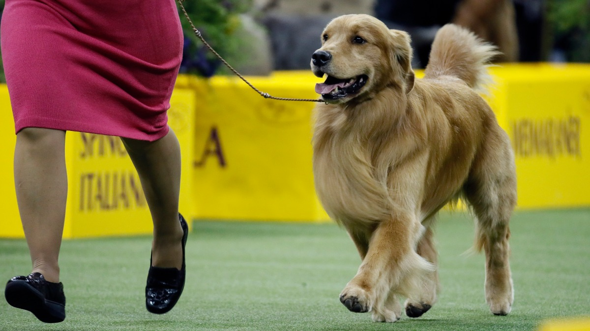 Daniel The Golden Retriever Wins The Internet If Not