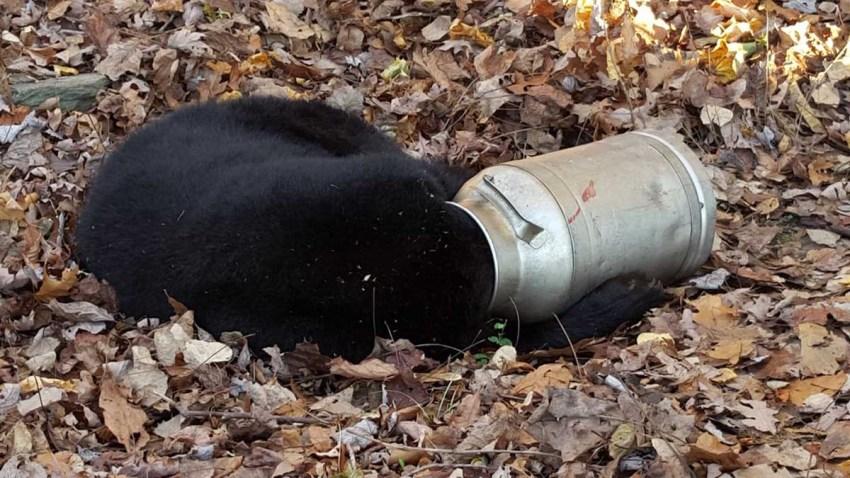 Bear Stuck in Milk Can