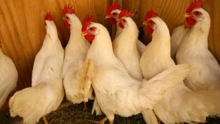 Chicken Poultry Birds Fowl Generic