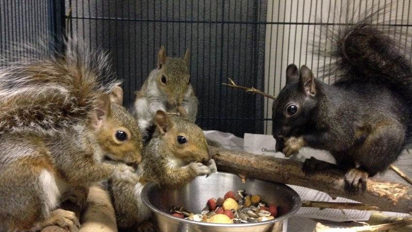 City Wildlife rescued Squirrels