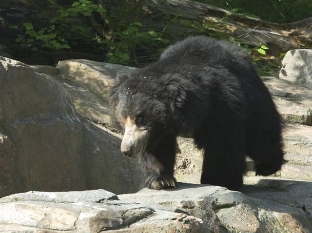 Francois the Sloth Bear