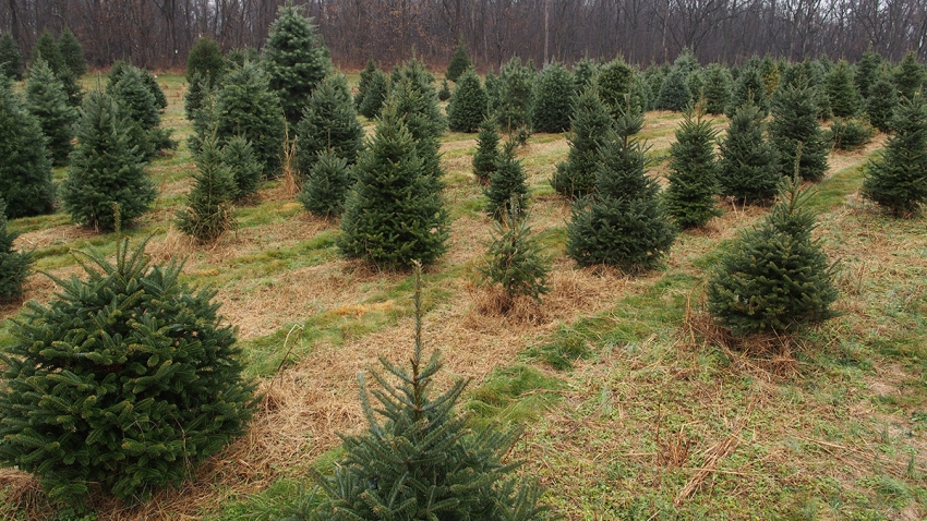 Recession Prompts Virginia Christmas Tree Shortage a Decade Later