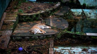Tiger at Tri-State Zoological Park in Cumberland, Maryland