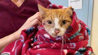 cat after surgery