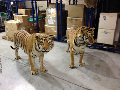National Wildlife Property Repository 6 two taxidermied tigers