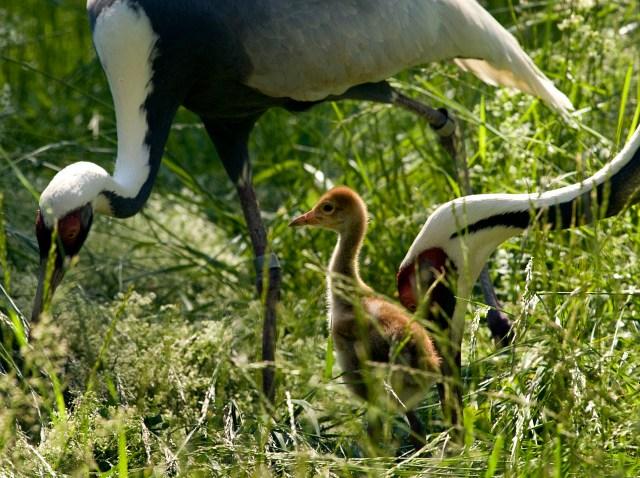National Zoo White-naped crane chick