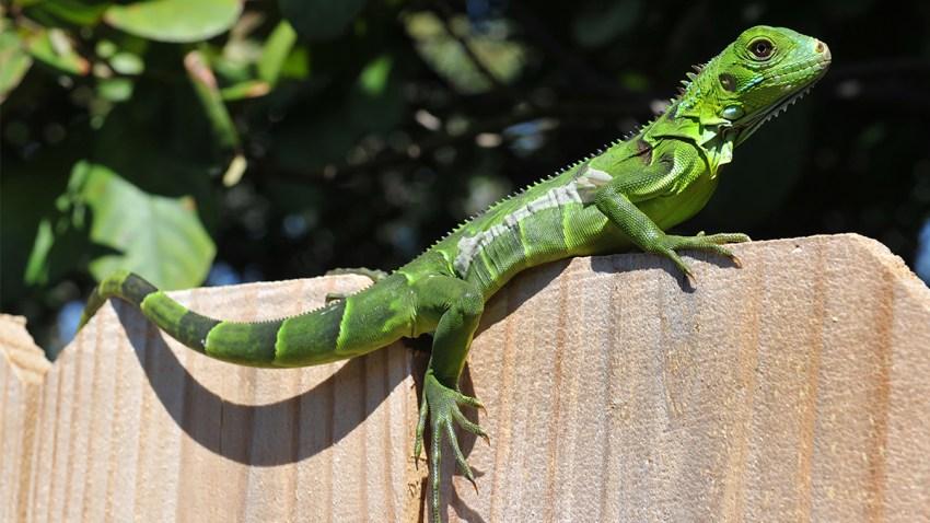 Nov 29 19 Iguana