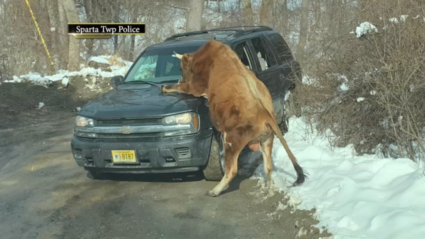 Sparta_Bull_Attack