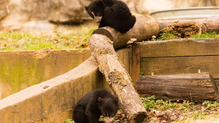 andean bear cubs