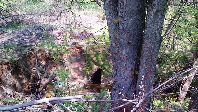 black bear0428
