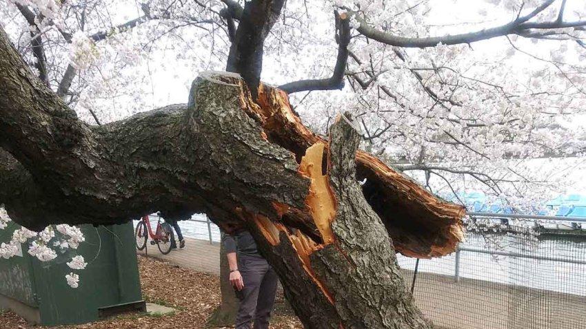 cherry blossom tree broken