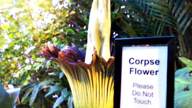 corpse-flower2011