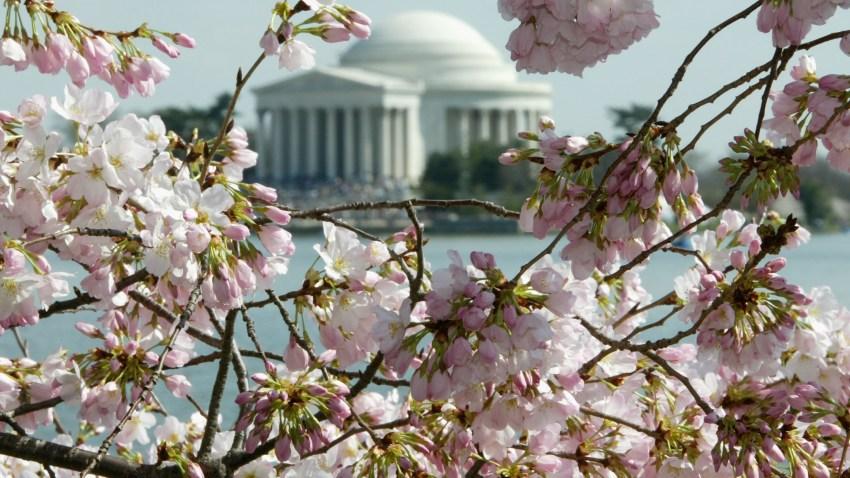 3149527AW003_CherryBlossom