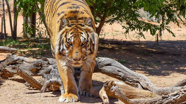 keepers-of-the-wild-tiger