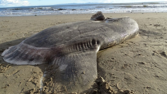 Alien-Looking Fish Washes Up on Shore