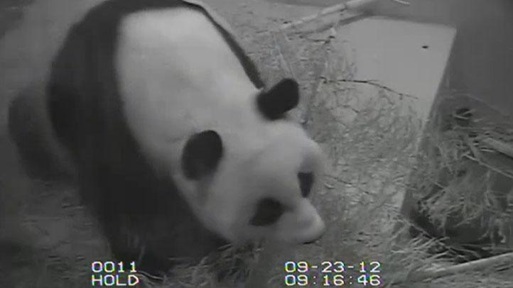 panda-distress