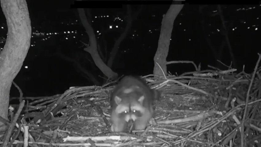 raccoon ate eggs