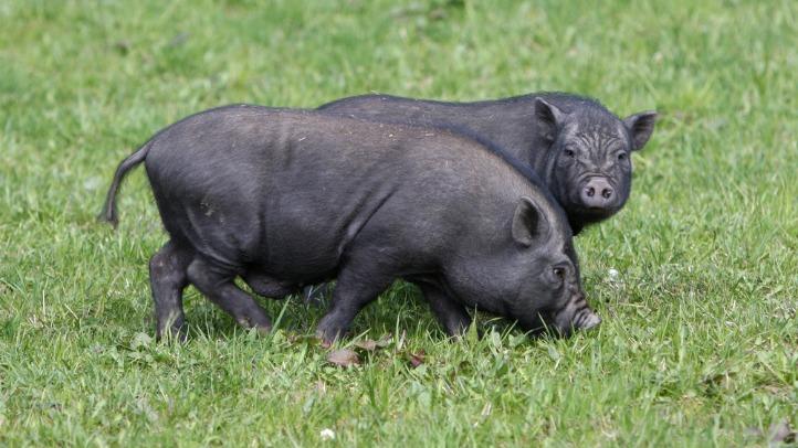 shutterstock_50712556 pot-bellied pigs pot-belly pigs generic