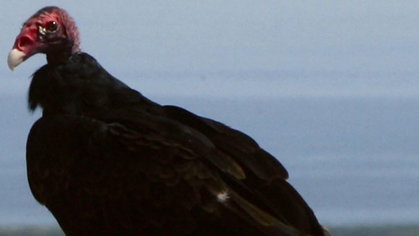 032709 Turkey Vulture