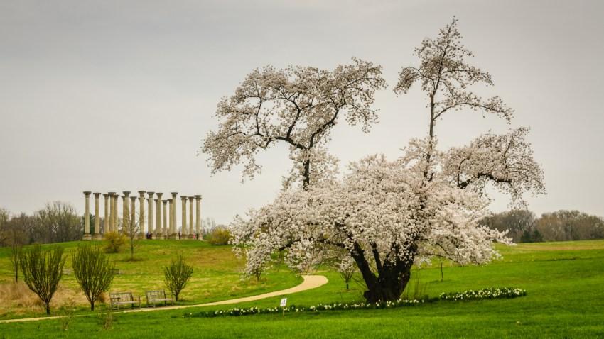 Cherry blossoms at National Arboretum