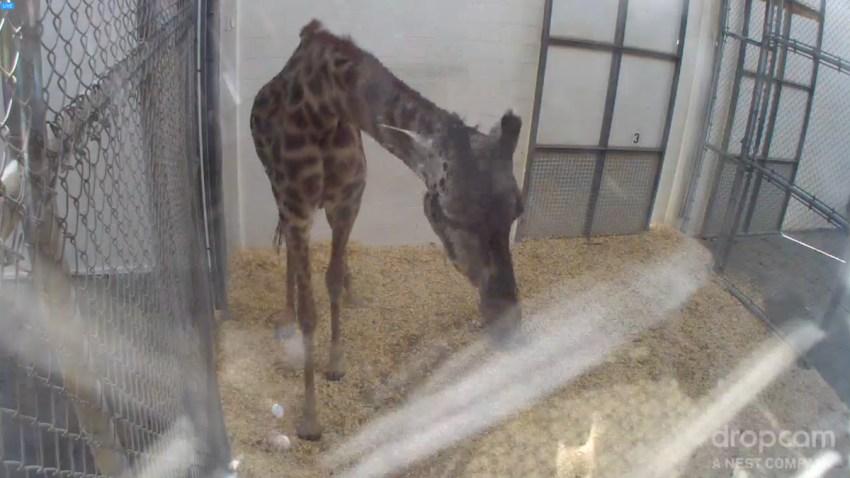 zoo-baby-giraffe-giraffe-giraaaaaaffe