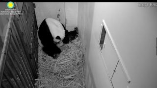 Mei Xiang panda labor