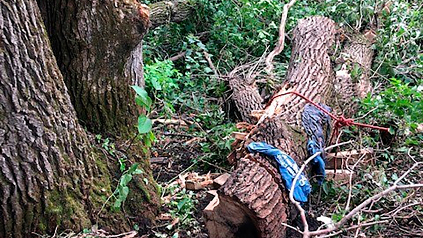 This photo shows an oak tree that fell and pinned Jonathan Ceplecha for four days as he was cutting it