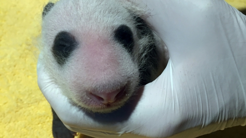 The National Zoo's 3-week-old giant panda