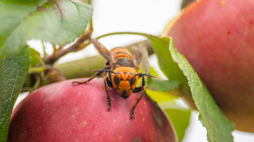 a live Asian giant hornet with a tracking device affixed to it sits on an apple in a tree where it was placed