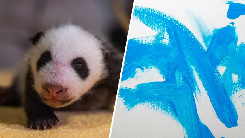 The National Zoo's six-week-old panda cub