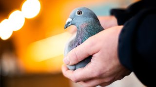 a two-year old female pigeon named New Kim
