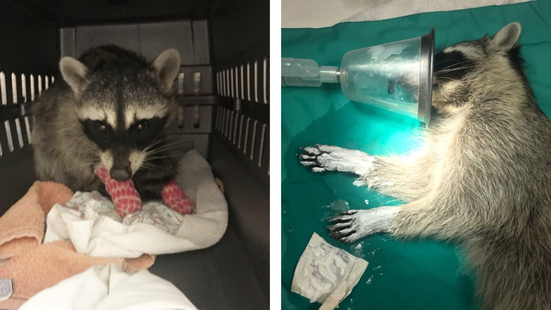 Burnie the Raccoon Who Was Hurt in the California Wildfires Is Healed