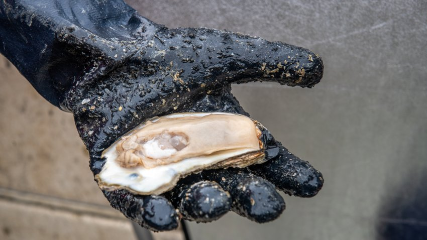 A palm-sized oyster in a gloved hand