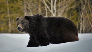 In this 2019 photo provided by the U.S. Fish and Wildlife Service is a grizzly bear (Ursus arctos horribilis) in Grand Teton National Park, Wyo. Grizzly bears are slowly expanding in the northern Rocky Mountains but scientists say they need continued protections and have concluded no other areas of the country would be suitable for the fearsome animals. The Fish and Wildlife Service on Wednesday, March 31, 2021, released its first assessment in almost a decade on the status of grizzly bears in the contiguous U.S.