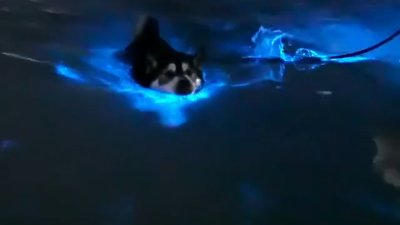 Balto the Dog Glows Blue in Bioluminescence
