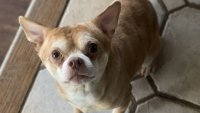 Brutally Honest Adoption Ad for 'Demonic Chihuahua' Goes Viral