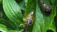 Amorous Cicada Blamed For Causing Car Crash in Ohio
