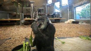 cobby chimpanzee