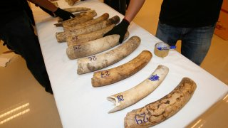 Forensic officers inspect ivory seized at the customs department in the Suvarnabhumi International Airport in Bangkok, Thailand, Friday, Sept. 22, 2017. Thai authorities have seized a full elephant tusk and 28 tusk fragments originating from Africa worth over 4 million baht ($120,000). The ivory was hidden in a shipment from Republic of Congo and transited through Addis Ababa, Ethiopia to Thailand.