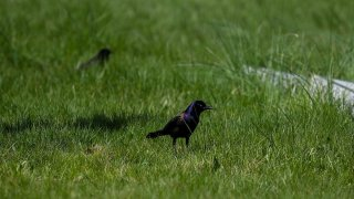File photo of a grackle