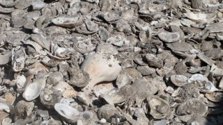 A pile of oyster, clam and whelk shells